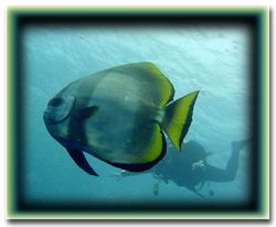 Spadefish- Palau by M. Dalsaso 